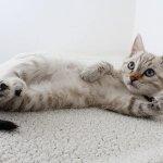 nadczynnosc tarczycy u kota - jak sobie z nia radzić?